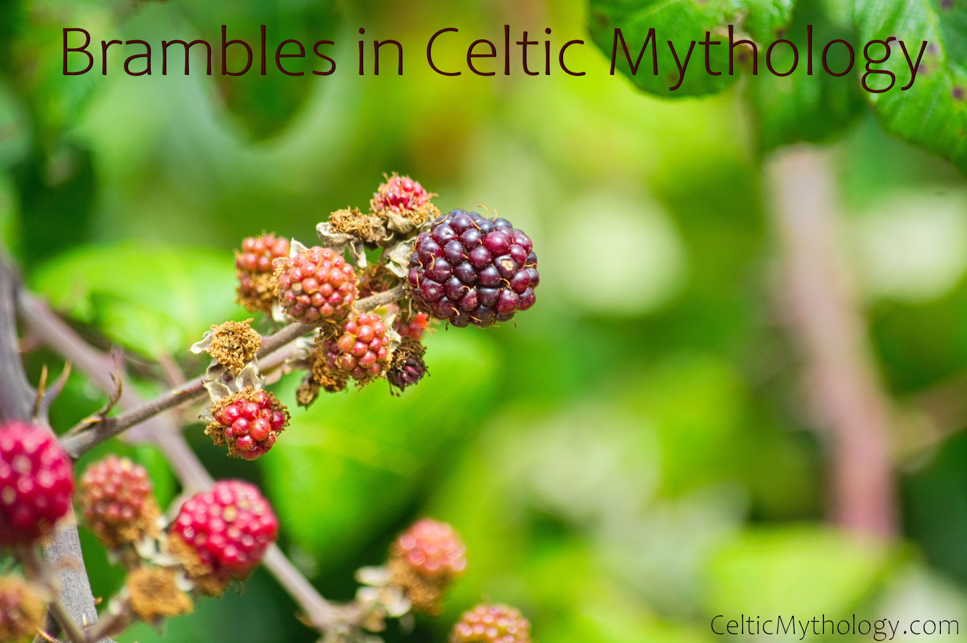 Brambles in Celtic Mythology
